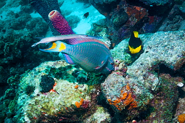 Stoplight parrotfish (Sparisoma viride), terminal phase, grazing on coral rock, shadowed by a Trumpetfish (Aulostomus maculatus) next to a Rocky beauty (Holacanthus tricolor)  Bonaire, Netherlands Ant...