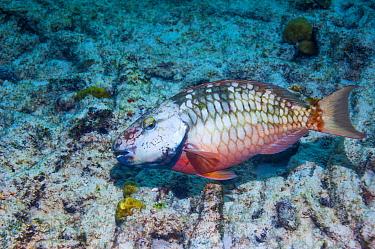 Stoplight parrotfish (Sparisoma viride)  initial phase turning into terminal phase.  Bonaire, Netherlands Antilles, Caribbean, Atlantic Ocean.