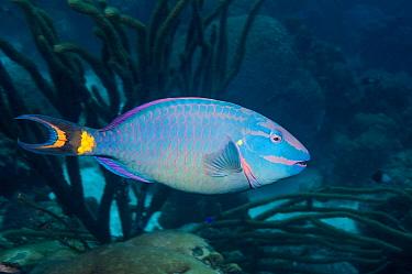 Stoplight parrotfish (Sparisoma viride)  terminal phase.  Bonaire, Netherlands Antilles, Caribbean, Atlantic Ocean.
