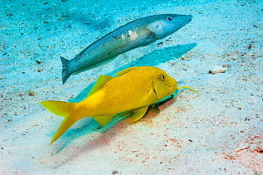 Cigar wrasse (Cheilio inermis) following a Yellowsaddle goatfish (Parupeneus cyclostomus) hunting for food.  Egypt, Red Sea.