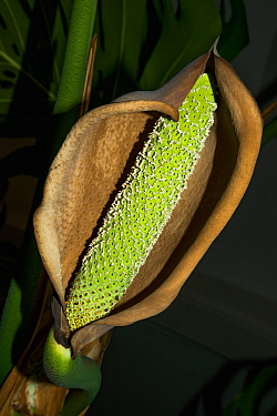 Cheese plant or Mexican bread plant.  (Monstera deliciosa) flower with developing fruit.