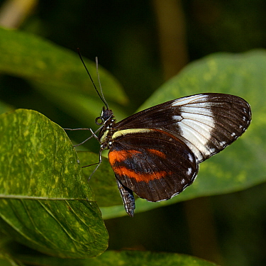 Cydno longwing (Heliconus cydno) captive, occurs in the Americas.