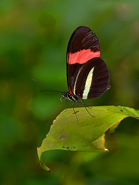 Red postman butterfly (Heliconus erato) on leaf, captive, occurs in the Americas.