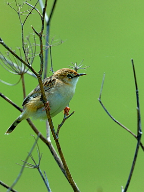 Zitting cisticola (Cisticola juncidis) on branch, Breton Marsh, Vendee, France, May.