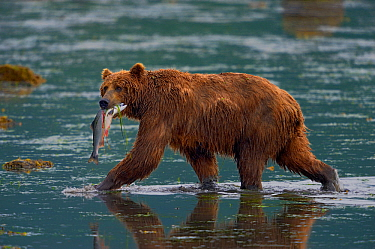 Kodiak brown bear (Ursus arctos middendorffi) fishing, with salmon in mouth, Kodiak Island, Alaska, USA, July.