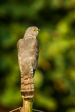 Common hawk-cuckoo (Hierococcyx varius)  perched on  fence pole. Panna National Park, Madhya Pradesh, India.