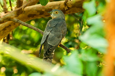 Common hawk-cuckoo (Hierococcyx varius) sitting on in a thicket of branches. Panna National Park, Madhya Pradesh, India