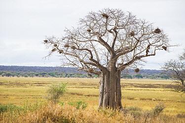Baobab tree (Adansonia digitata) with birds nests, Tarangire National Park, Tanzania.