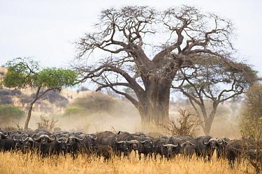 Herd of African buffalo (Syncerus caffer) standing under Baobab tree (Adansonia digitata), Tarangire National Park, Tanzania.
