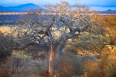 Baobab tree (Adansonia digitata) and habitat, Tarangire National Park, Northern Tanzania.