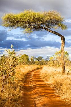 Flat-top acacia tree (Acacia abyssinica or Vachellia abyssinica) over a dirt road, Tarangire National Park, Tanzania.