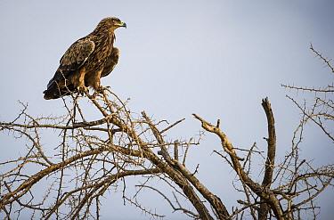 Brown snake eagle (Circaetus cinereus) perched high on a thorn tree. Grumeti Reserve, Northern Tanzania.
