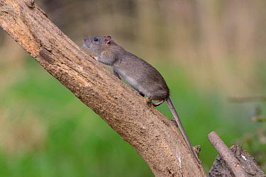 Juvenile Brown rat (Rattus norvegicus) climbing a dead tree, Gloucestershire, England, UK, April.