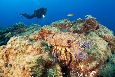 Scuba diver and Mediterranean slipper lobster (Scyllarides latus), Santa Maria Island, Azores, Portugal, Atlantic Ocean