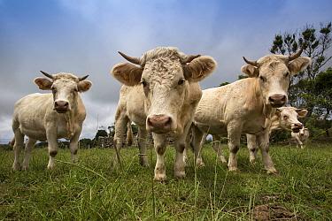 Cattle on Santa Maria Island, Azores