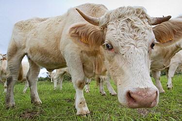Cattle on  Santa Maria Island, Azores, Portugal, Atlantic Ocean