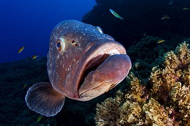 Dusky grouper (Epinephelus marginatus) close up of face, Formigas Islet dive site, Azores, Portugal, Atlantic Ocean.