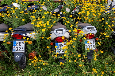 Motorcycles surrounded by  Crown daisies (Glebionis coronaria) parked ready for tourists to hire in the summer.  Spetses Island, Aegean Sea, Mediterranean, Greece, April 14, 2009