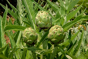 Artichoke (Cynara scolymus) Spetses Island, Aegean Sea, Greece, April.