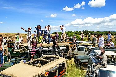 Congestion of tourist safari cars, at crossing spots along the Mara River during the great migration season.  Masai Mara National Reserve, Kenya, Africa, August 2012.