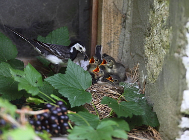 Pied wagtail (Motacilla alba yarellii) at nest with chicks, Carmarthenshire, Wales, UK, August.