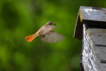Redstart (Phoenicurusu phoenicurus) female flying to nest in barn eaves with fly prey, Carmarthenshire, Wales, June.