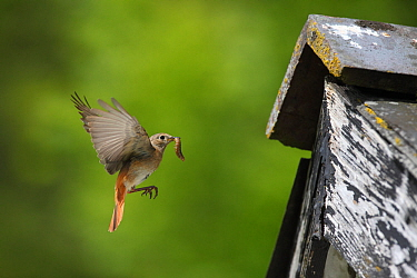 Redstart (Phoenicurus phoenicurus) female flying to nest in barn eaves with caterpillar prey, Carmarthenshire, Wales, June.