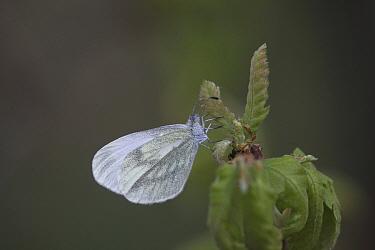 Wood white (Leptida sinapsis) female at rest on oak leaf, Hungary,  May.