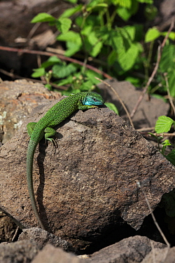 Green lizard (Lacerta viridis) male basking on rock in full breeding colours, Hungary, May.