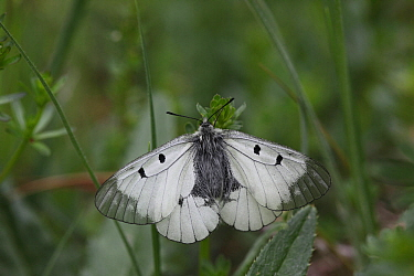 Clouded apollo butterfly  (Parnassius mnemosyne) at rest with wings open, Hungary, May.