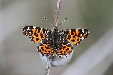 Map butterfly (Arashnia levana) at rest, Hungary, May.