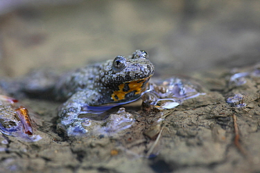Fire bellied toad (Bombina bombina) in water filled wheel ruts on forest track, Hungary, May.