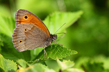 Meadow brown butterfly (Maniola jurtina) male at rest on leaf, Hungary, May.