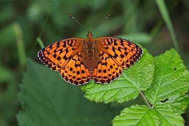 Marbled fritillary (Brenthis daphne) at rest on bramble leaf, Hungary, June.