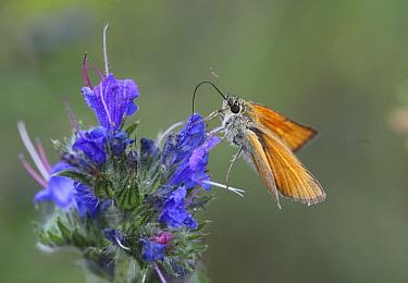 Large skipper (Ochlodes venatus) feeding on nectar from Vipers bugloss (Echium vulgare) Hungary, June.