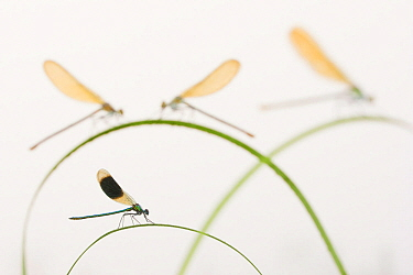 Banded demoiselle (Calopteryx splendens) group of four on plant stems, River Leijgraaf, Nijmegen, the Netherlands, August 2013. Finalist in the Invertebrate category of the Wildlife Photographer of th...
