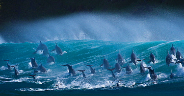 Large pod of Bottlenose dolphins (Tursiops truncatus) porpoising over waves during annual  sardine run, Port St Johns, South Africa. Runner up in the Animals in their Environment Category of the Wildl...