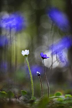 Hepatica (Hepatica nobilis) white morph and normal blue morph, Southern Estonia, April.