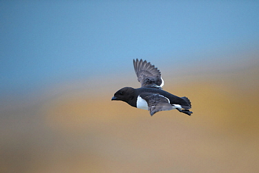 Little auk (Alle alle) flying on the coast of North Sea,  Svalbard, Spitsbergen, Norway, June.
