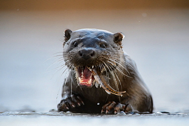 Otter (lutra lutra) eating Gudgeon (Gobio gobio) in Southern Estonia, January.