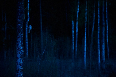 Ural owl (Strix uralensis) perching on an Apsen tree during the blue hour of dawn, Tartumaa, Estonia, April.