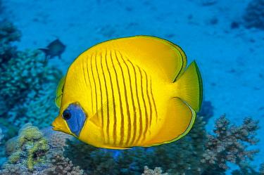 Golden butterflyfish (Chaetodon semilarvatus).  Egypt, Red Sea.  Red Sea endemic.