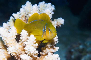 Lemon coralgoby (Gobiodon citrinus) on coral perch.  Egypt, Red Sea.