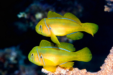 Lemon coralgoby (Gobiodon citrinus) pair on coral perch.  Egypt, Red Sea.