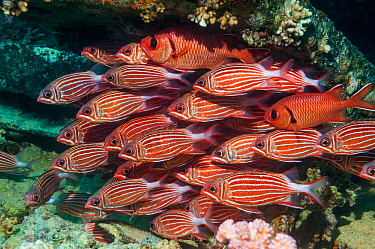 Crown squirrelfish (Sargocentron diadema) shoal, at rest on coral reef.  Egypt, Red Sea.
