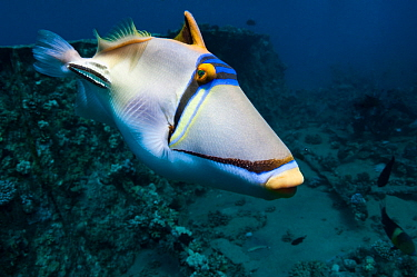 Arabian picassofish (Rhinecanthus assasi).  Egypt, Red Sea.