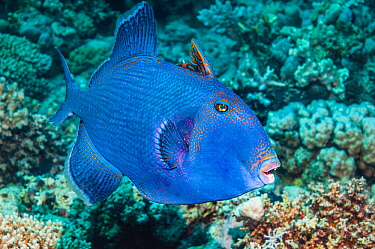 Blue triggerfish (Pseudobalistes fuscus).  Egypt, Red Sea.  Indo-Pacific.