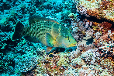 Napoleon wrasse (Cheilinus undulatus), female.  Egypt, Red Sea.