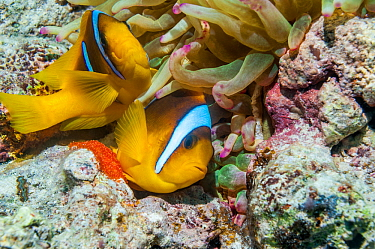 Red Sea anemonefish (Amphiprion bicinctus) female laying eggs with the male close behind to fertilize them,  at base of Magnificent anemone (Heteractis magnifica).  Egypt, Red Sea.