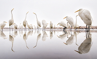 Group of Great egrets (Ardea alba) reflected in still water, with Hooded crows (Corvus cornix), Lake Csaj, Pusztaszer, Hungary. Winner of the Portfolio category of the Terre Sauvage Nature Images Awar...